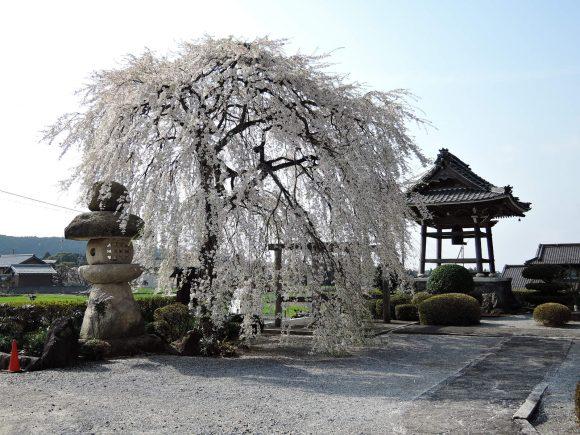勝泉寺のしだれ桜(いなべ市)